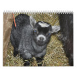 Pygmy Goat Babies Calendars