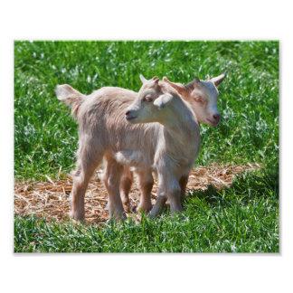 Pygmy Goat Kids Print