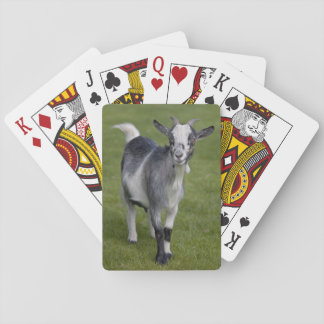 Pygmy Goat Playing Cards