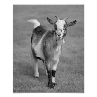 Pygmy Goat Print (Black and White)