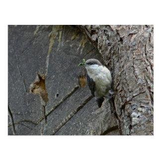 Pygmy nuthatch postcard