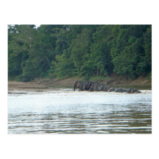 Pygmy Paddle Postcard