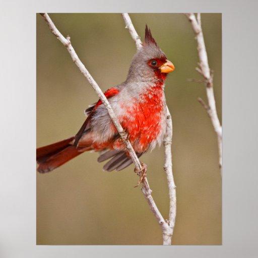 Pyrrhuloxia (Cardinalis sinuatus) male perched Posters