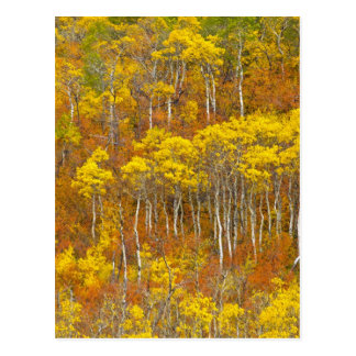 Quaking aspen grove in peak autumn color in postcard