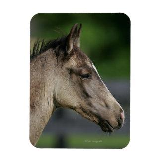 Quarter Horse Foal Headshot Rectangular Photo Magnet