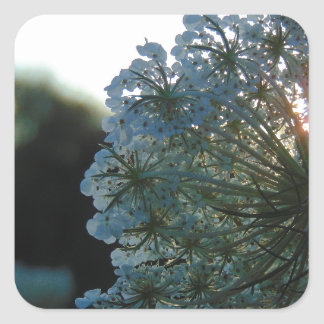 Queen Anne's Lace at Sunset Square Sticker