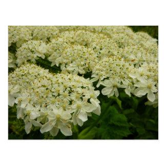 Queen Anne's Lace White Wildflower Postcard