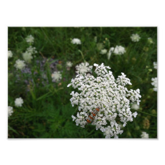 Queen Anns Lace Photo Print