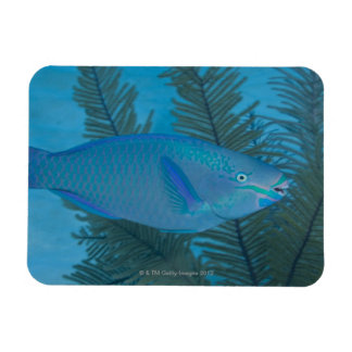 Queen Parrotfish (Scarus vetula) swimming over Rectangular Photo Magnet