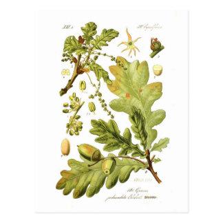 Quercus pedunculata (English Oak) Postcard
