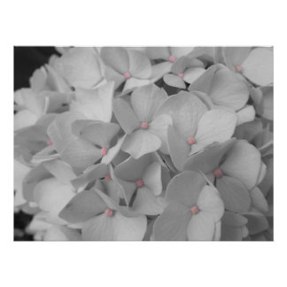 Quiet Bloom Black and White Hydrangeas Poster