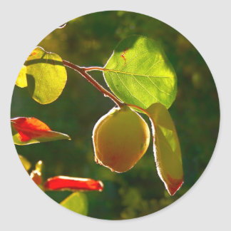 Quince Fruit On Tree Classic Round Sticker