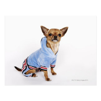 Quirky portrait of a Teacup Chihuahua 2 Postcard