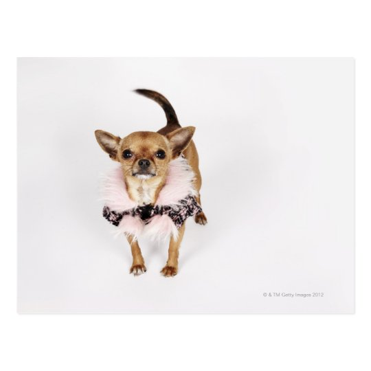 Quirky portrait of a Teacup Chihuahua Postcard