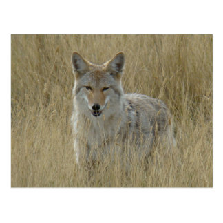 R0002 Coyote Postcard
