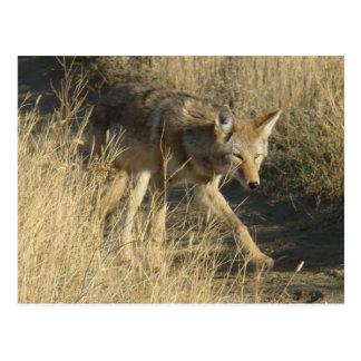 R0014 Coyote postcard