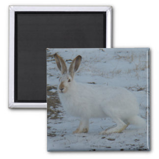 R0023 Snowshoe Hare Square Magnet
