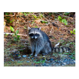 Raccoon at Point Defiance Park WA State Postcard