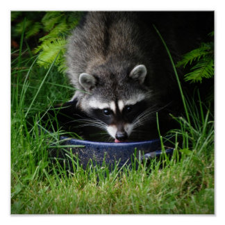Raccoon Drinking Print