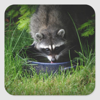 Raccoon Drinking Sticker