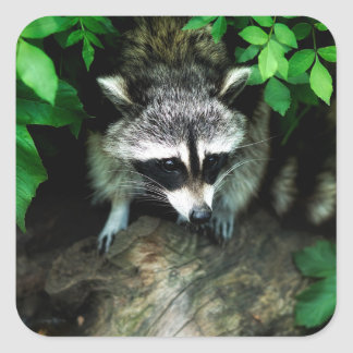 Raccoon In Forest Nature Glossy Stickers