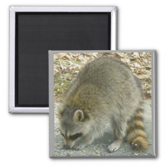 Raccoon on Rock Magnet