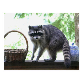 Raccoon Picture Post Card