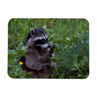 Raccoon Playing! Magnet