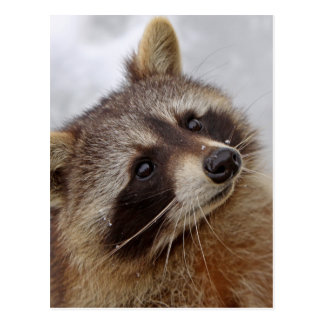 Raccoon Postcard