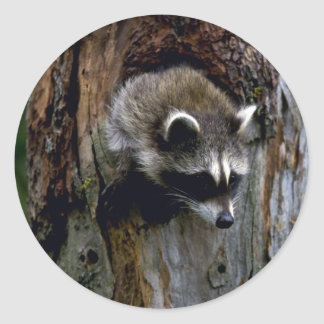 Raccoon-Summer-youngster in hollow tree Classic Round Sticker