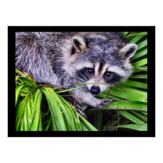 Raccoon Wildlife Photography Poster