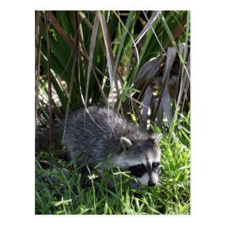 Racoon Baby Postcard