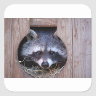 Racoon raccoon square sticker