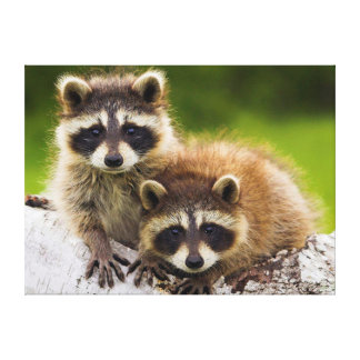 Racoons Canvas Print