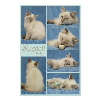 Ragdoll baby poster