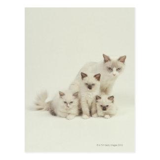 Ragdoll cat female with kittens postcard