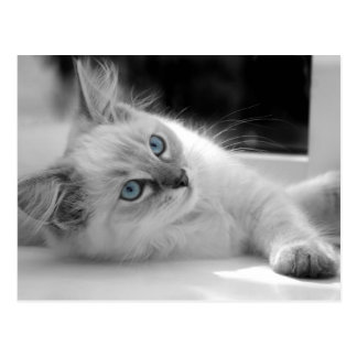Ragdoll kitten postcard