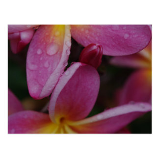 """Rain and Plumerias"" Postcard"