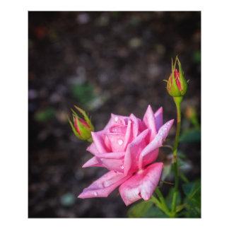 Rain Drops on Pink Rose Art Photo