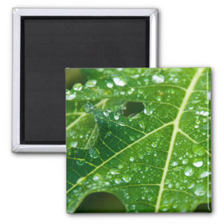 Rain Drops on Tropical Green Papaya Leaf Square Magnet