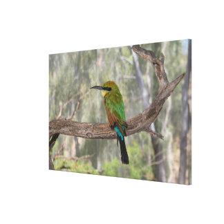 Rainbow bee-eater bird, Australia Canvas Print