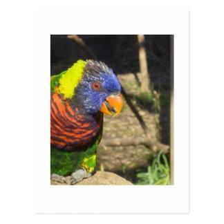 Rainbow Lorikeet Postcard
