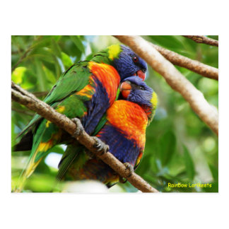 Rainbow Lorikeets Postcard
