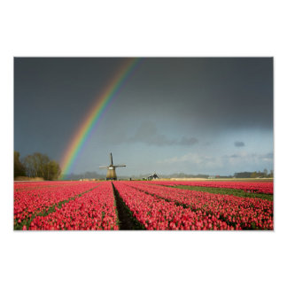 Rainbow, tulips and windmill poster