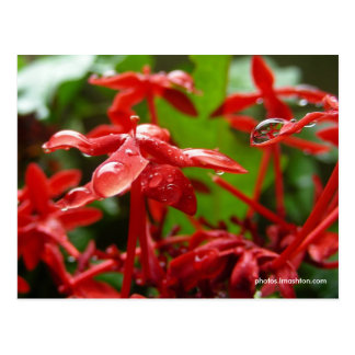 Raindrops On A Red Flower Postcard