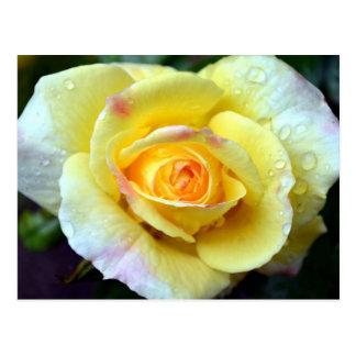 Raindrops on a Yellow Rose Postcard