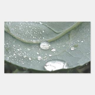 Raindrops on cauliflower leaves