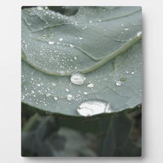 Raindrops on cauliflower leaves plaque