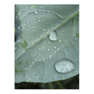 Raindrops on cauliflower leaves postcard