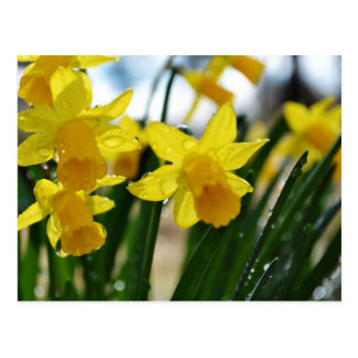 Raindrops on Daffodils Postcard